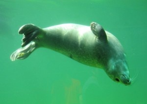 creature-robbe-seal-sea-pets-north-swim-water_121-72528